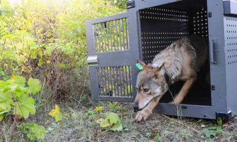 Group gets 168,000 signatures to put gray wolf restoration initiative on ballot
